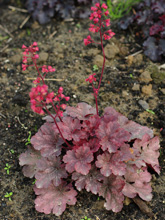 Żurawka 'Cherry Cola' Heuchera